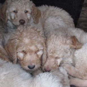 We're some tired goldendoodles.