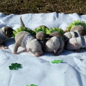 TITANIUM KILO XL PITBULL PUPPIES