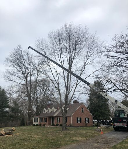 Tree Guys Tree Service removing a large hazardous tree with a crane in West Chester PA.