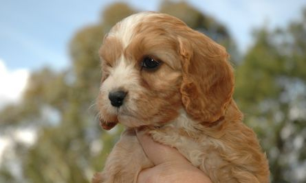 red and white cavoodle puppy