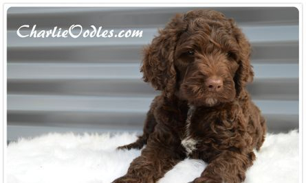 Chocolate standard spoodle puppy
