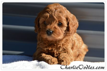 ruby and white cavoodle puppy