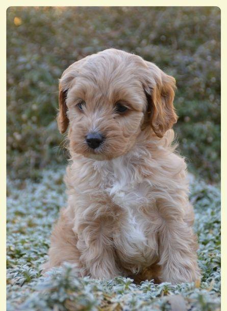 apricot cavoodle puppy