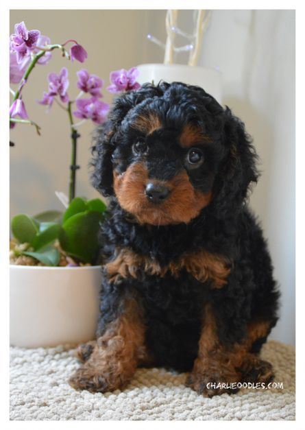 black and tan cavoodle puppy