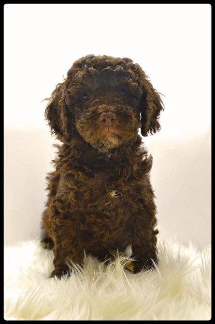 chocolate spoodle puppy