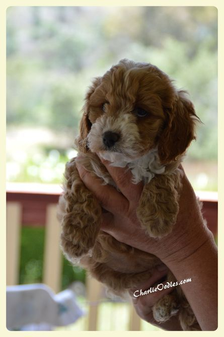 chocolate cavoodle puppies for sale