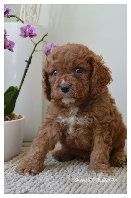 ruby cavoodle puppy