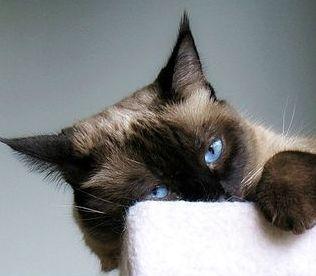 Lounging adoption cat pet