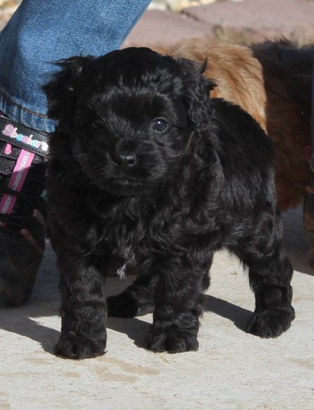 Black Aussiedoodle puppy