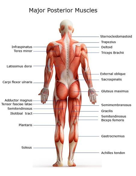 Major posterior Muscles  JMI Therapeutic Wellness Services | Complementary and Alternative Therapies
