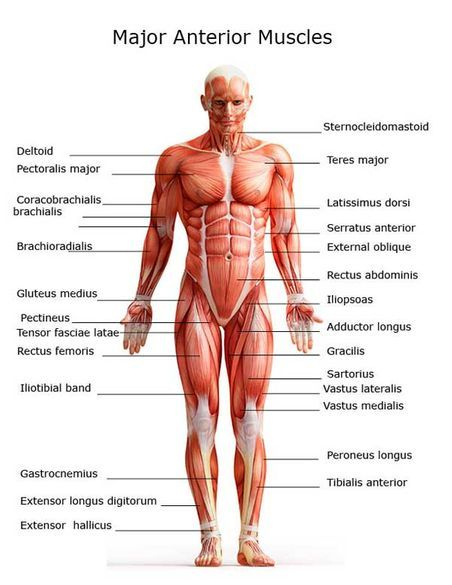 Major anterior muscles  JMI Therapeutic Wellness Services | Complementary and Alternative Therapies