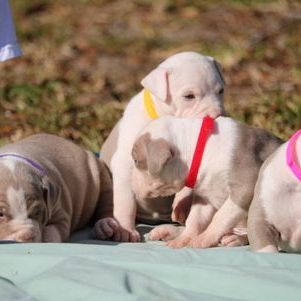TKK WHITE XL PITBULL PUPPIES