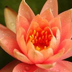 Lotusblomst i pink