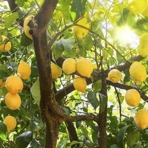 Citron træ i god vægst