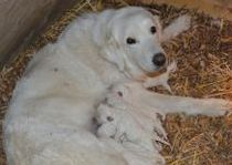 Pearl and her 2 day old puppies