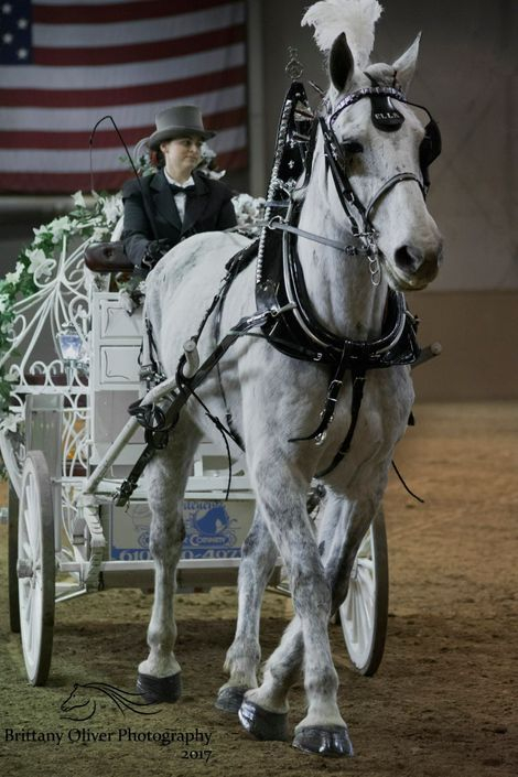 Beautiful White Percheron Carriage Horse
