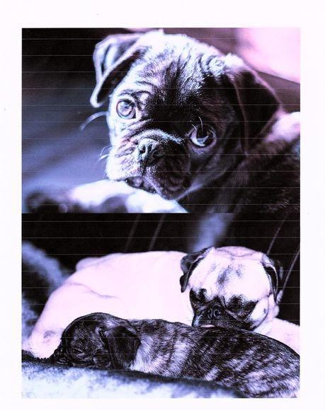 Past pug puppy adoption in Colorado