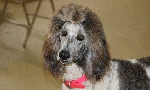 Bessie the silver and white parti poodle