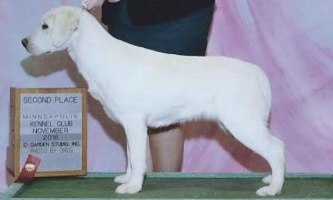 Our English show Labrador winning at a dog show