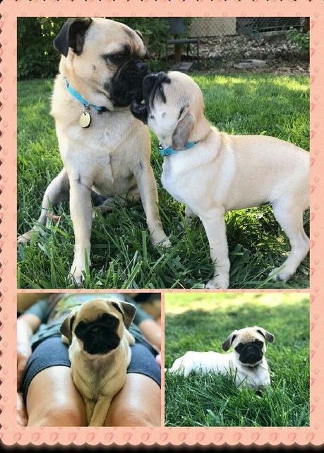 Past pug puppy adoption in Colorado