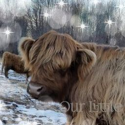 cute pet miniature highland cows for sale