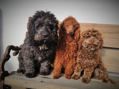 Toy and mini cavoodles