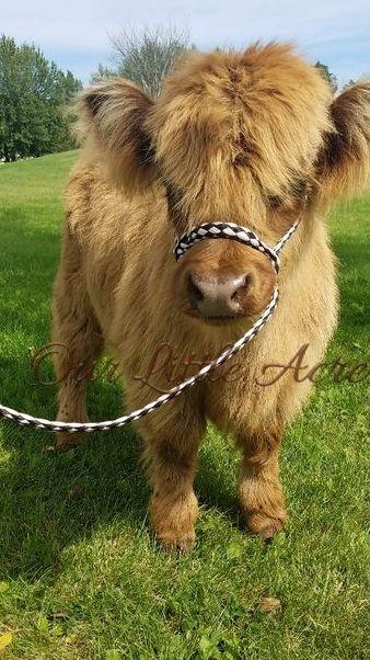 Micro mini Highland calf