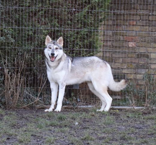 Our Handsome Wolfalike Boy Drake