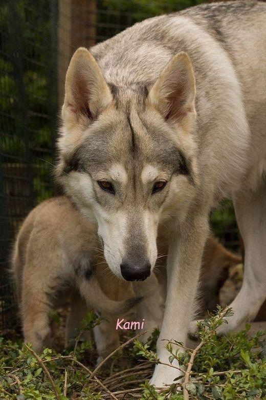 Miss Wolfy womble Kam kam