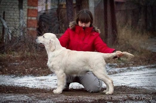 Golden Retriever Russia