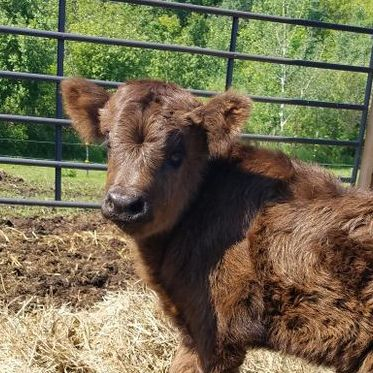 Our Little Acres mini Highland Heifer