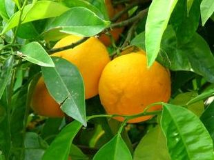 CALAMONDIN NARANJA ORNAMENTAL