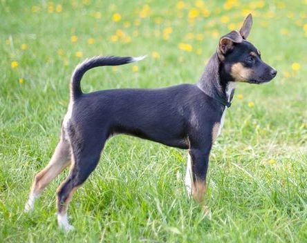 Nude N Rudes kennel - Risto