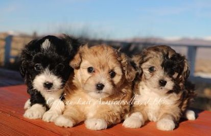 Mini and Toy Aussiedoodle puppies for sale