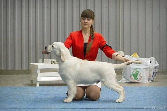 golden retriever dog show