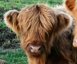 Micro Miniature Highland cow