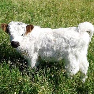 Mini HighPark bull for sale