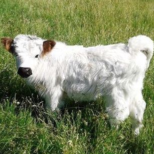 Mini HighPark bull for sale