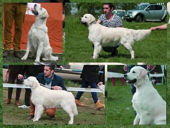 Mascul Golden Retriever