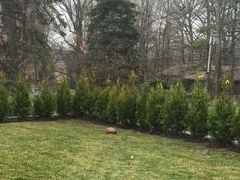 Arborvitae Privacy Hedge Installation Available