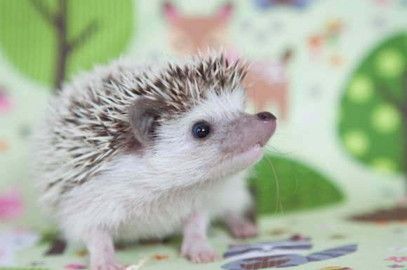 Eco Exotics Hedgehogs