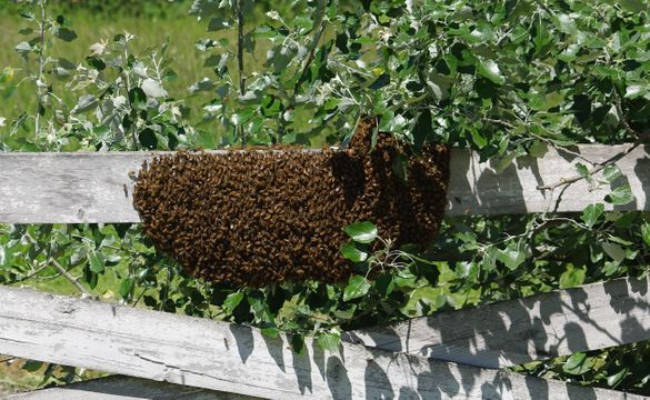 Bee swarm on our fence