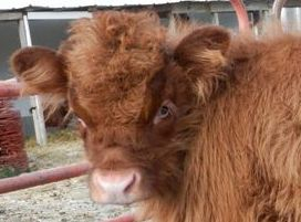 Miniature cow Cinnamon