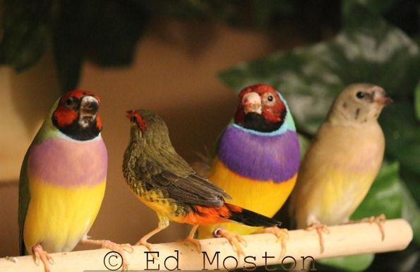 Photo of Gouldian Finches