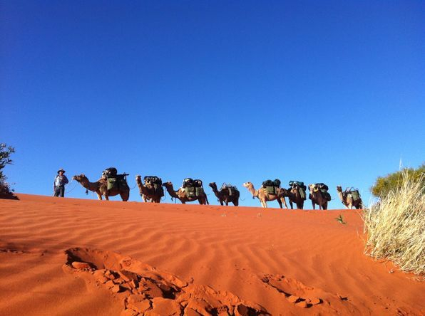 Desert Crossing on Safari. Outback Australian Camels.