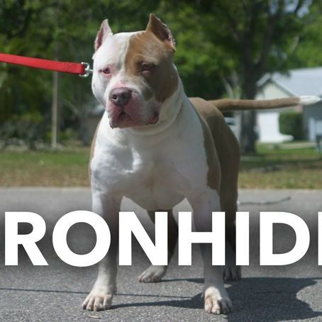 TKK IRONHIDE XL AMERICAN BULLY
