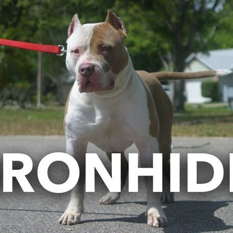TKK IRONHIDE XL PITBULL