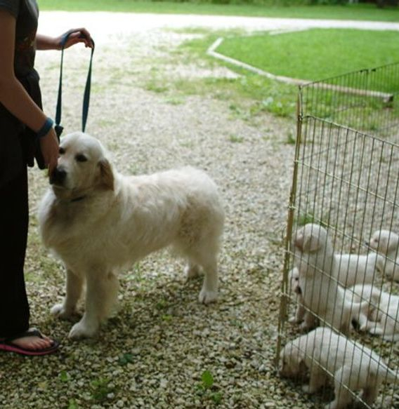 Abraham-sire of litter - English Creme Golden Retriever Puppies Kansas