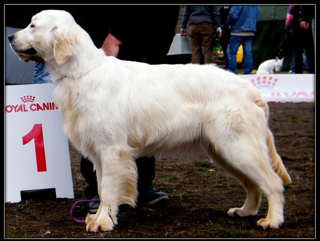 ROMANIA RETRIEVER CLUB