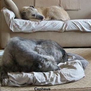 Irish Wolfhound - Cepheus - Happy to be Home with his Mates